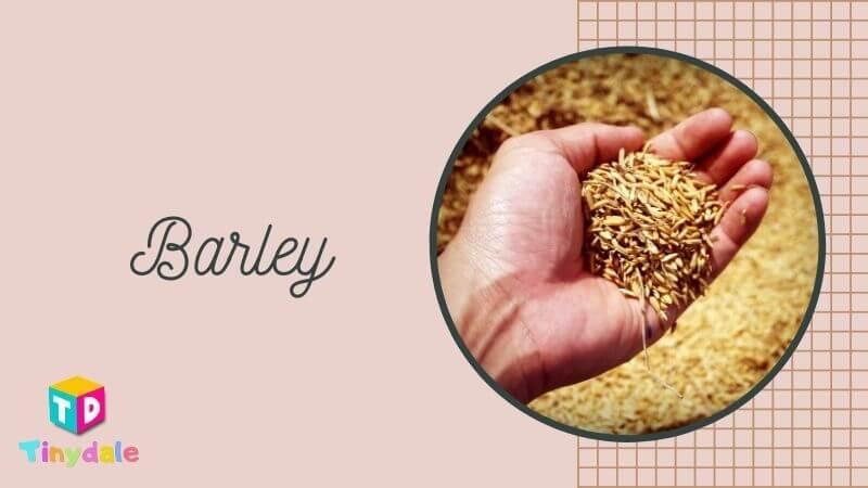 Barley Foods to increase Breast Milk - tinydale